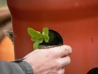 Ein Salatbau wird bepflanzt